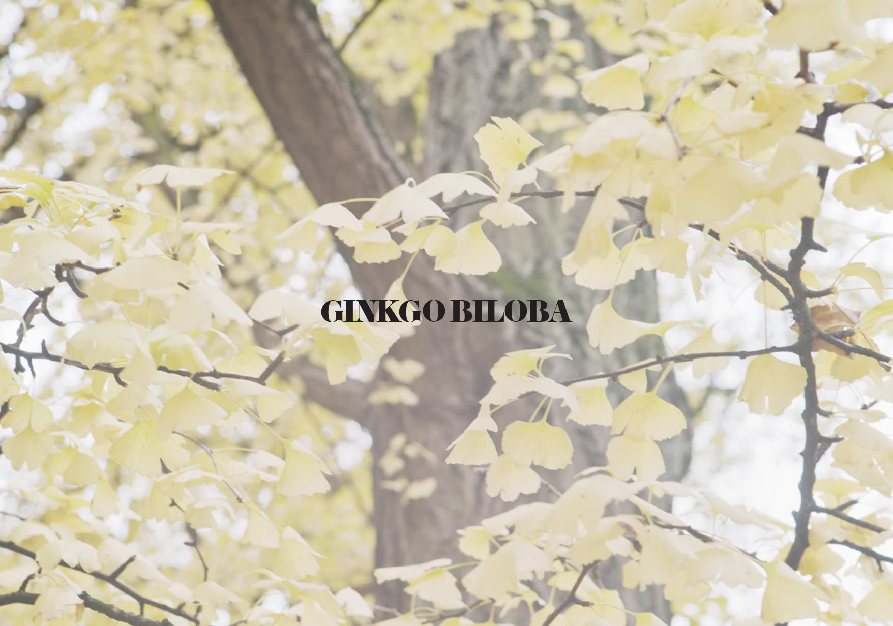 Slider_Ginkgo