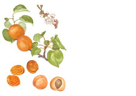 Nyttoväxter_persika
