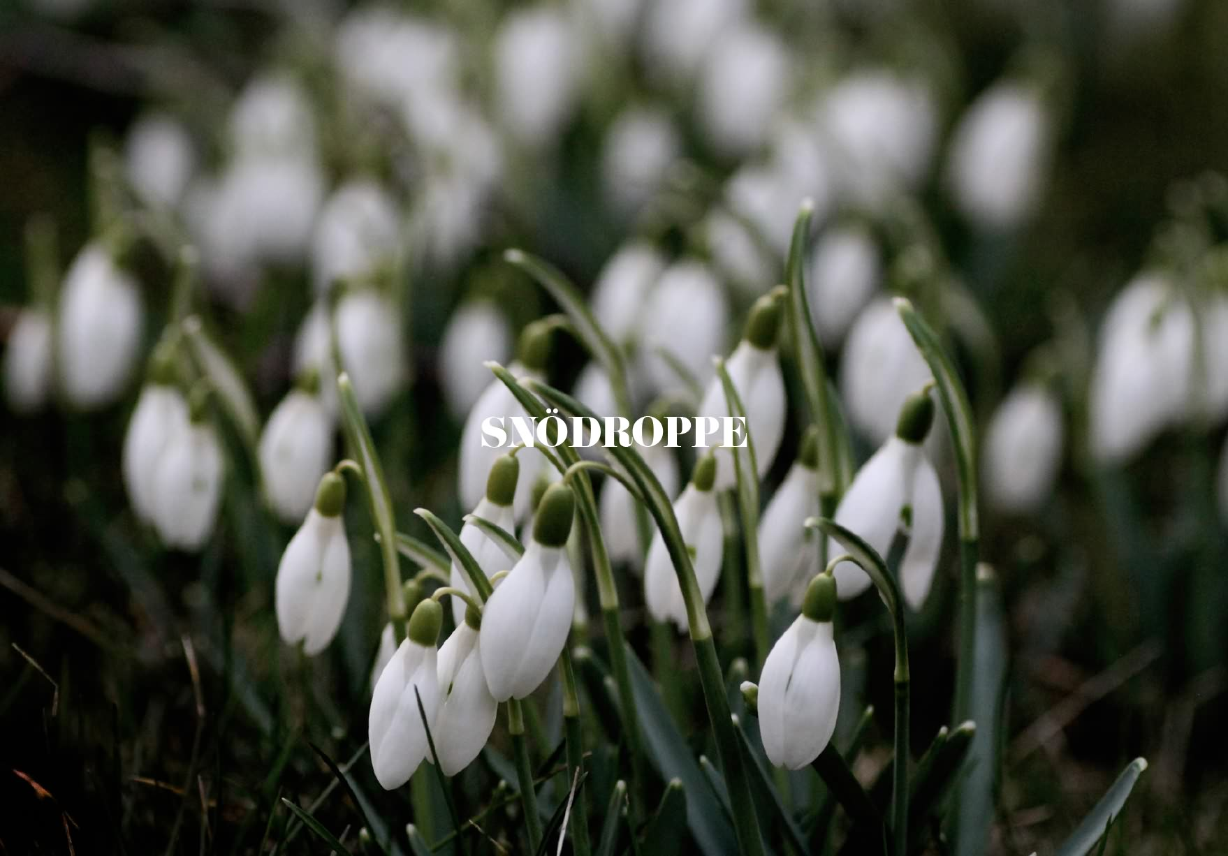Slider_Snödroppe