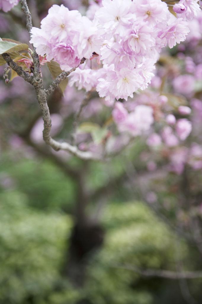 Japanskt körsbär 2
