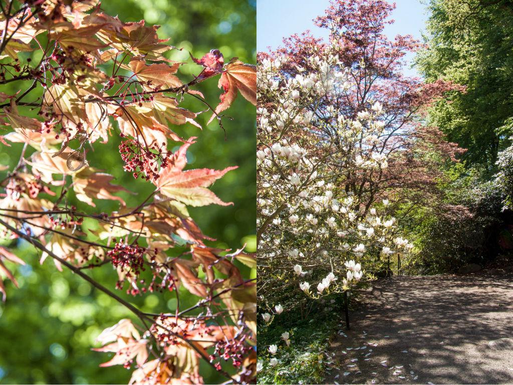 lönn_magnolia