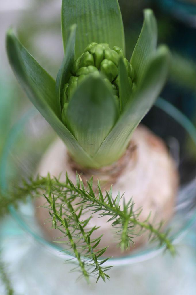 IMG_7886_hyacint